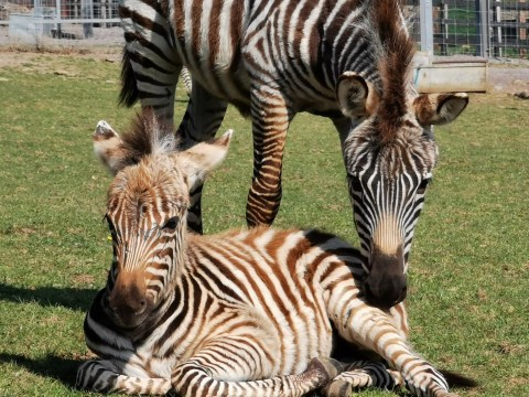 Baby zebra born in lockdown dies after getting 'spooked by fireworks'