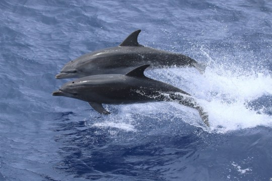 Bottlenose dolphins in the waters around Tristan da Cunha, a remote UK Overseas Territory in the Atlantic Ocean