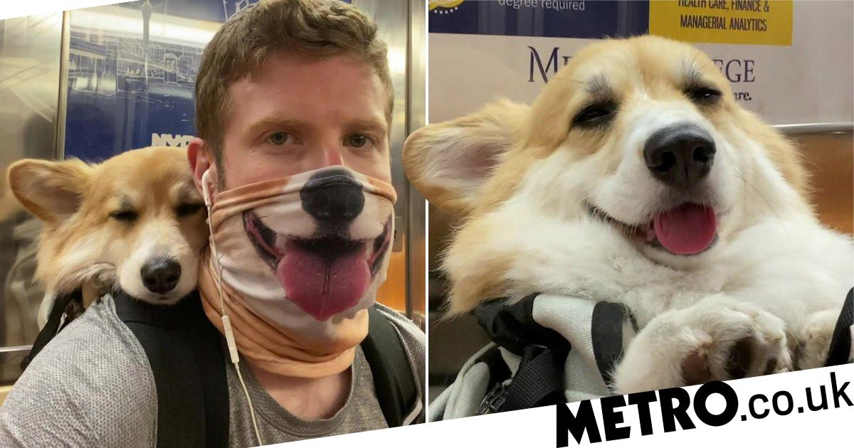 Adorable Corgi loves riding the subway in her dad's backpack