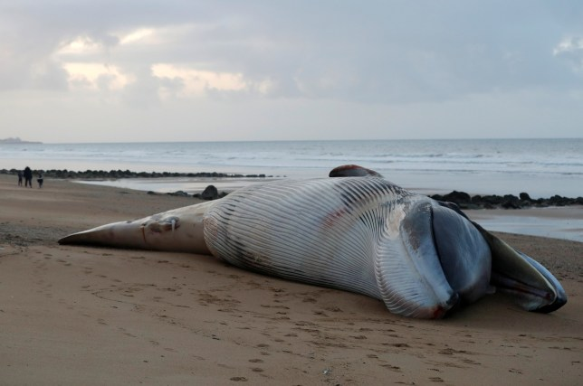A view shows the dead body of a fin whale which was found stranded on a beach last Saturday in Saint-Hilaire-de-Riez, France, November 16, 2020. REUTERS/Stephane Mahe