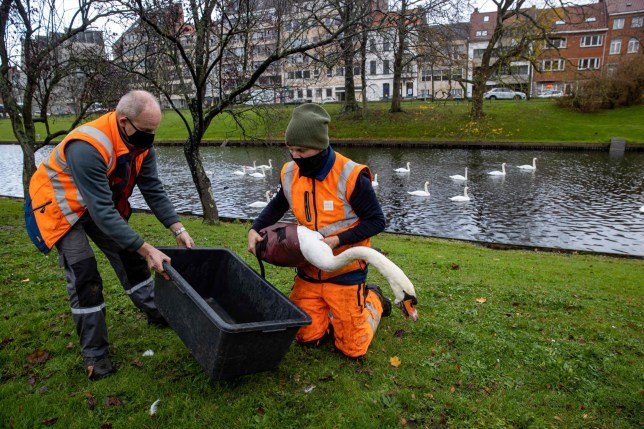 Workers catch a swan during an operation to catch over 100 swans in the city center of Brugge, on November 19, 2020. - Due to the discovery of bird flu in three wild birds in Ostend, special security measures are required to prevent wild birds getting in contact with the swan population in the city of Bruges. (Photo by KURT DESPLENTER / BELGA / AFP) / Belgium OUT (Photo by KURT DESPLENTER/BELGA/AFP via Getty Images)