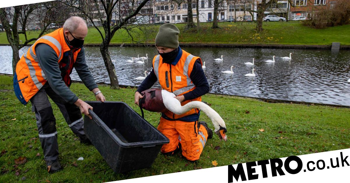 Bird flu fears grow as spate of UK swan deaths investigated - metro
