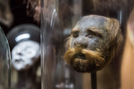 *** EXCLUSIVE - VIDEO AVAILABLE *** LONDON, UNITED KINGDOM - JUNE 21: Viktor Wynd's Museum of Curiosities, on June 21, 2017 in Hackney, London, England. Shrunken heads, celebrity poo and chocolate prime ministers are just a few of the Victor Wynd Museums favourite things. From the outside of this small London museum, Its hard to tell what exactly is on display - and if you thought the taxidermy and skeletons on the ground floor were unusual just wait until you go down the spiral staircase where things get a lot weirder. Originally intended to run for just six months, due to its popularity, eight years later the Victor Wynd museum still welcomes 300-500 people every week. PHOTOGRAPH BY Adam Gray / Barcroft Images London-T:+44 207 033 1031 E:hello@barcroftmedia.com - New York-T:+1 212 796 2458 E:hello@barcroftusa.com - New Delhi-T:+91 11 4053 2429 E:hello@barcroftindia.com www.barcroftimages.com (Photo credit should read Adam Gray / Barcroft Media via Getty Images / Barcroft Media via Getty Images)
