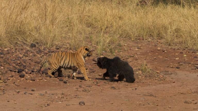 C'est le moment où un tigre du Bengale a combattu «l'ours le plus meurtrier du monde» en Inde.
