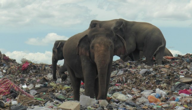 Wild elephants are seen at a garbage landfill near the eastern town of Ampara in Sri Lanka, October 4, 2020. Picture taken October 4, 2020. REUTERS/Stringer NO RESALES. NO ARCHIVES