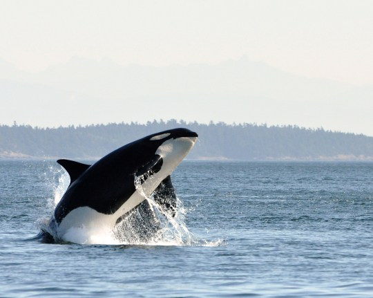 Killer Whale/ Orca jumps out of the water