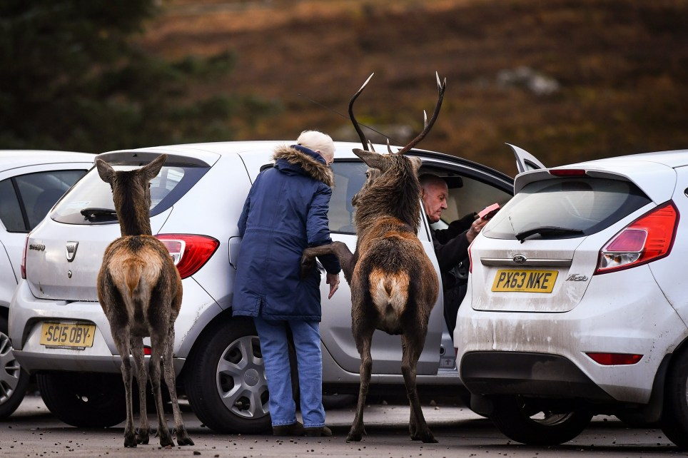 GLEN COE, SCOTLAND - NOVEMBER 26: A red deer lifts its hoof towards a member of the public as they enter their car in the Highlands on November 26, 2020 in Glen Coe, Scotland. Britain???s largest wild animal, The Red Deer, roam on open moorlands around the country during the summer and move to lower ground into forests and wood for shelter during the harsh Scottish winters. (Photo by Jeff J Mitchell/Getty Images)
