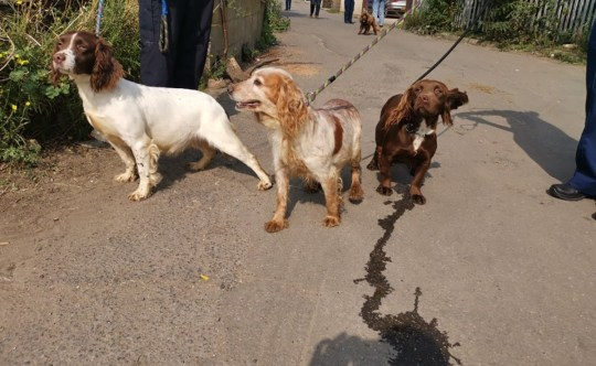 Police 'refusing to hand dogs stolen by travellers back to their owner'- Tilly pictured left