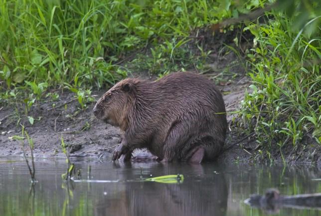 Eurasian beaver / European beaver (Castor fiber) on riverbank. (Photo by: Arterra/Universal Images Group via Getty Images)