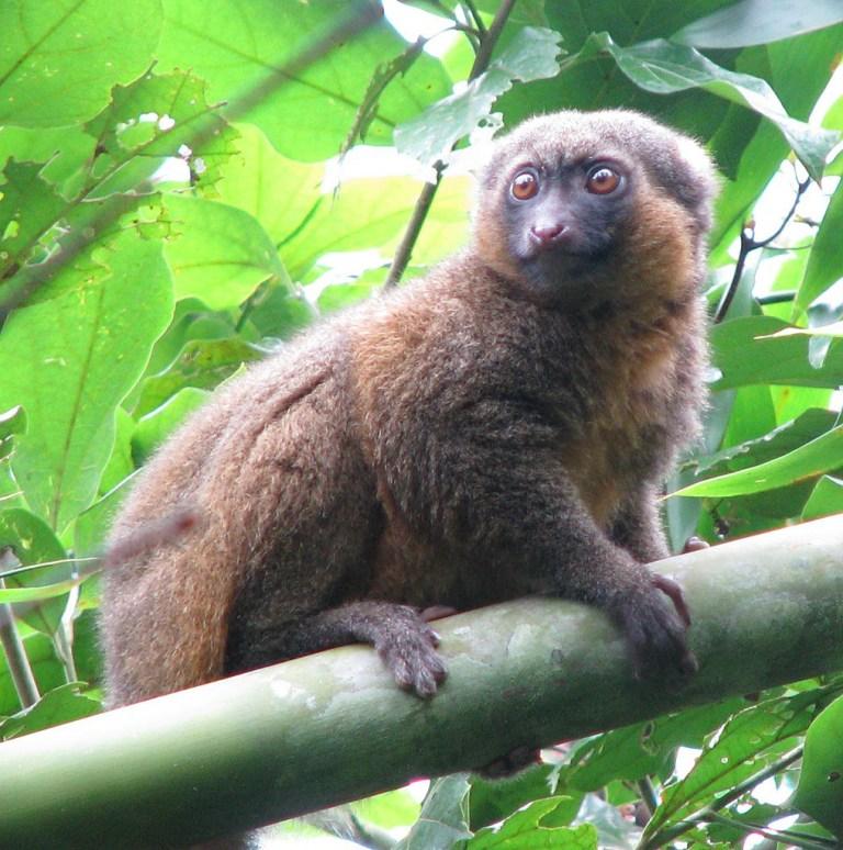 Golden Bamboo Lemur Harrison Jones