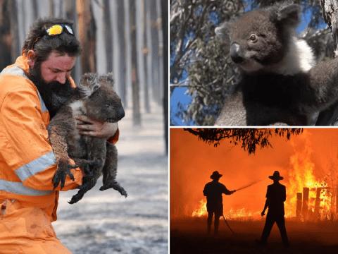 Koalas injured in Australian bushfires released back into wild