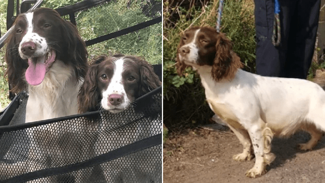Pictures of springer spaniels owned by Jon Gaunt, and the one he thinks is Tilly