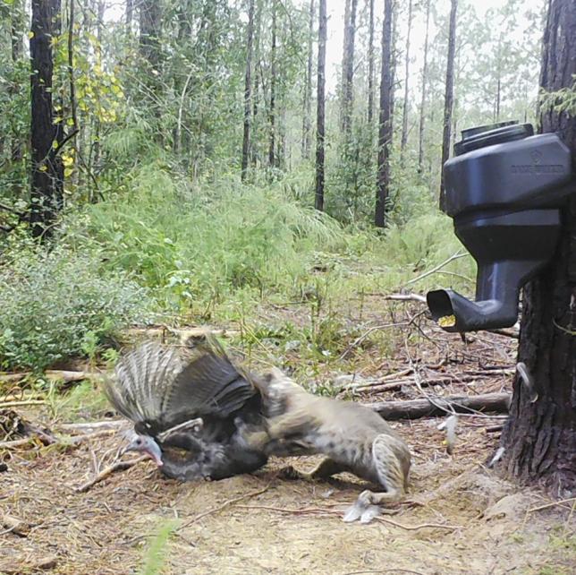 Bobcat eats turkey at feeder