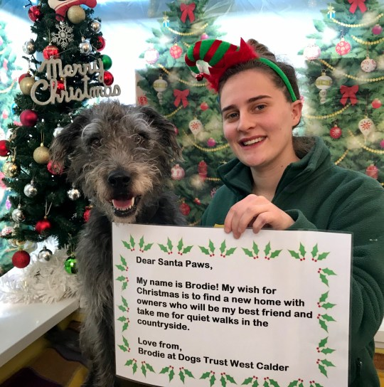 Brodie a Deerhound cross with his letter and Canine Carer