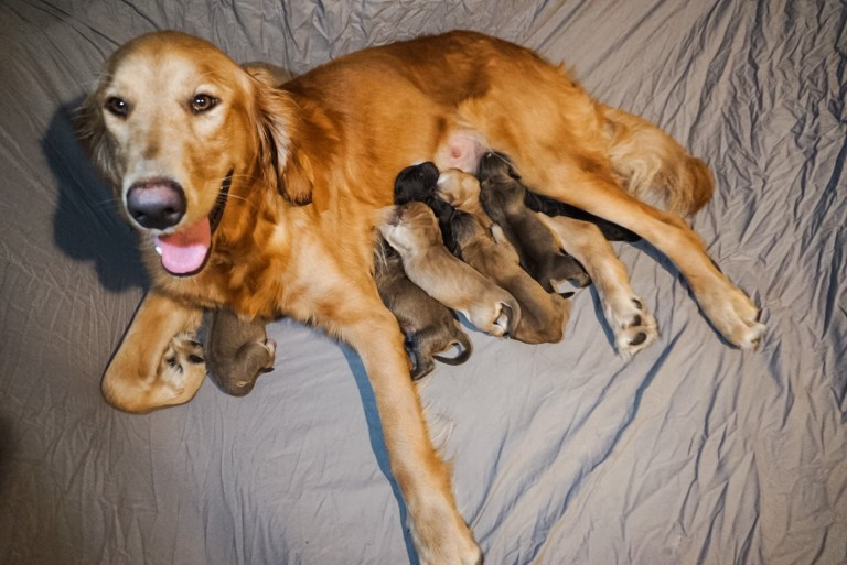 Golden retriever, Lily-Mae, and her puppies