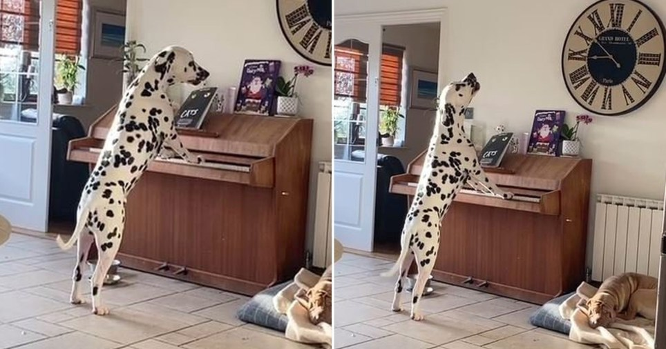 Dexter the Dalmation playing the piano and singing along.
