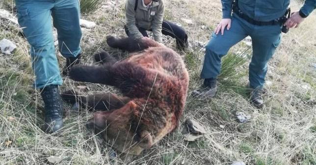 Deux ours bruns ont été abattus en Espagne lors de chasses au sanglier