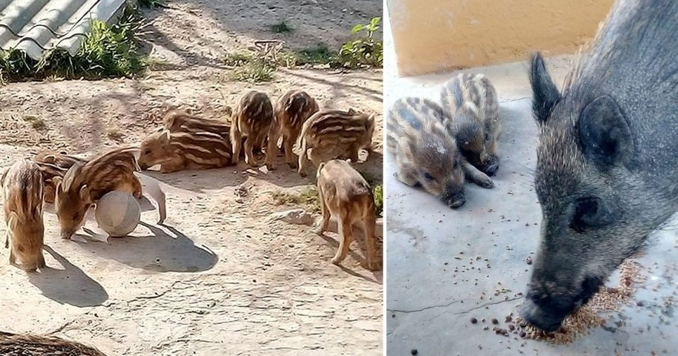 A British woman has turned her Spanish retirement home into a makeshift wildlife sanctuary after taking pity on boar which have been injured or orphaned by hunters (Picture: Victoria Korpics/Facebook/@snorkypork)