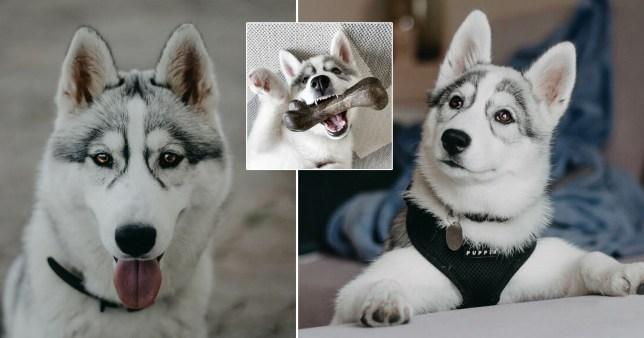 Tsuki, the dog with permanent glasses