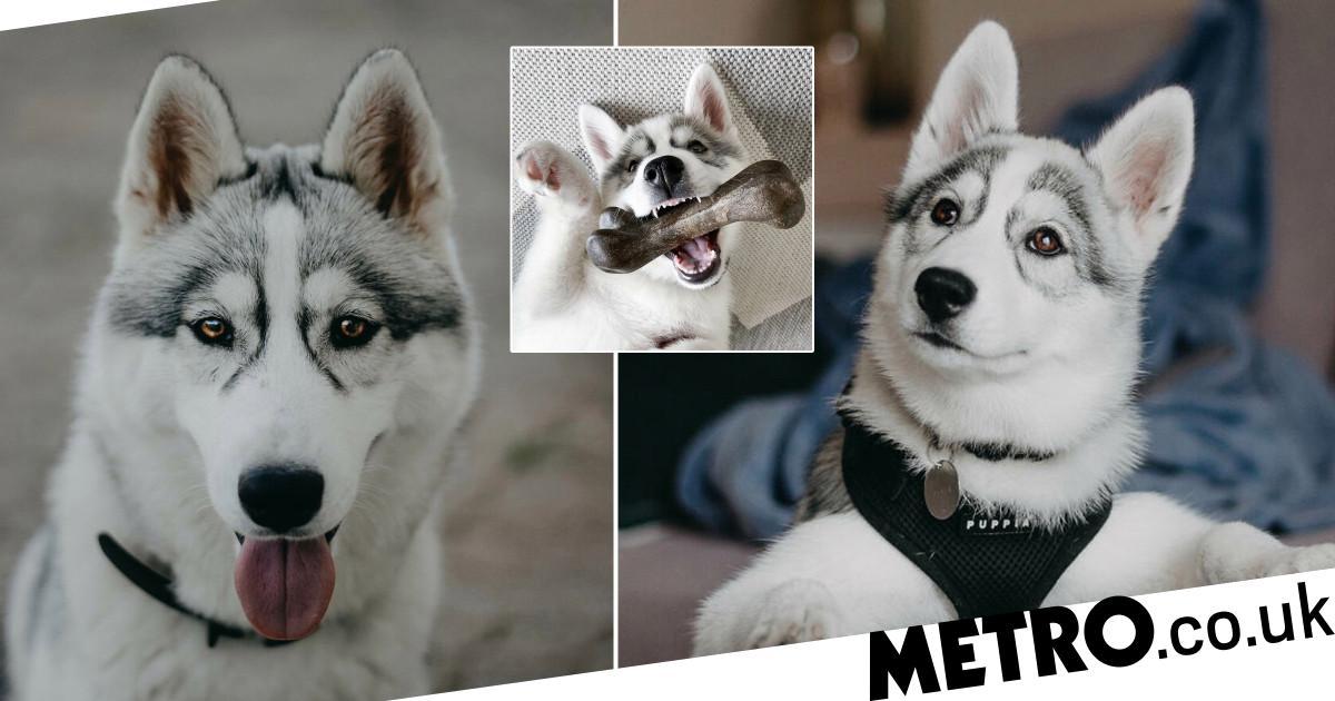 Siberian Husky's unique markings makes her look like she's wearing glasses