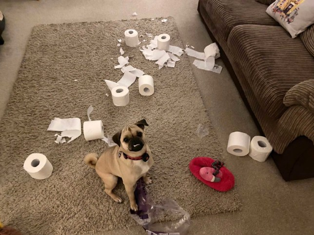 Daisy surrounded by destroyed loo roll