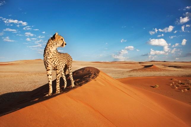 Cheetah (Acinonyx jubatus) on dune with desert landscape in back ground. Namibia.