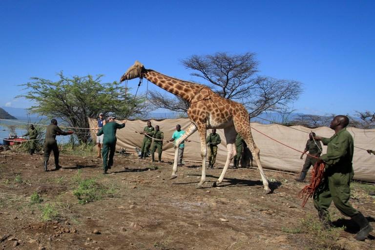 Une girafe de Rothschild en voie de disparition, les yeux bandés pour la garder calme, est capturée avec des cordes avant d'être flottée sur une barge rectangulaire construite sur mesure de l'île Longicharo aux rives orientales du lac Baringo, pour la sauver de la montée du niveau du lac qui menace son avenir, au Kenya Mercredi 2 décembre 2020. L'opération menée par les organisations de la faune avec l'aide de la communauté locale intervient après que le niveau du lac a commencé à augmenter d'environ 6 pouces par jour, transformant la maison d'origine de la girafe en une île de plus en plus réduite.  Sept girafes restent sur l'île, deux devant être déplacées au cours des prochains jours, et le reste dans les mois à venir, selon Northern Rangelands Trust.  (Northern Rangelands Trust via AP)