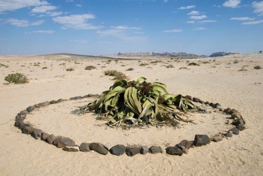 Welwitschia mirabilis, at the Welwitschia Drive, a stone ring has been formed around the plant, Namibia, Swakopmund