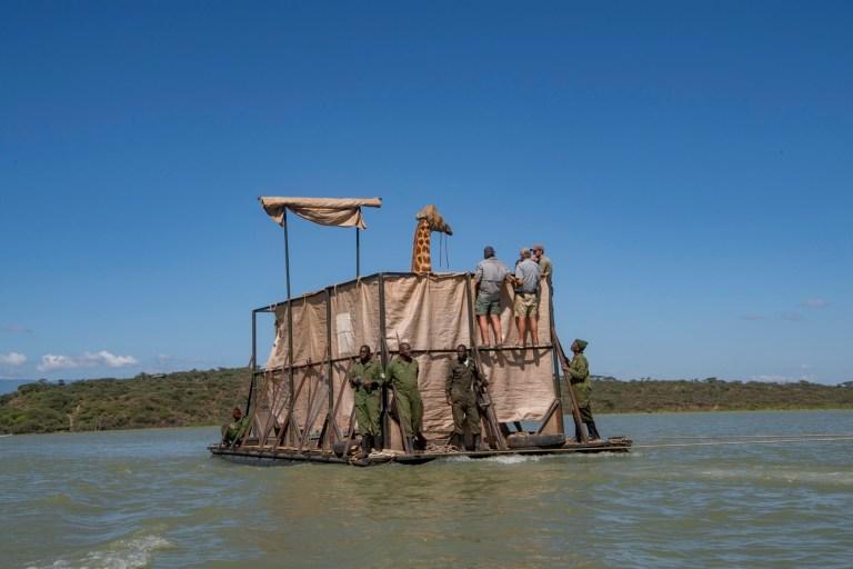 Asiwa, une girafe de Rothschild (nubienne) qui s'est échouée sur l'île de Longicharo, un sommet de lave rocheuse, à l'intérieur du lac Baringo dans l'ouest du Kenya, est déplacée de l'île inondée par une barge le 2 décembre 2020. La montée du niveau du lac a coupé la péninsule en une île, piégeant 8 girafes.  La communauté locale travaille avec des organisations de conservation pour les maintenir en vie.  Elle a été déplacée sur la barge pour 1,1.  miles au sanctuaire de clôtures de 4,400 acres dans le 44 000 acres Ruko Conservancy.  Asiwa était isolée dans une partie éloignée de l'île.  Aujourd'hui, il reste moins de 3000 girafes de Rothschild en Afrique, dont environ 800 au Kenya.  (Photo par Ami Vitale)