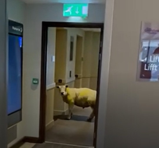 BEST QUALITY AVAILABLE EMBARGOED TO 1000 THURSDAY DECEMBER 3 Undated handout screen grab taken from video issued by Premier Inn Holyhead of a sheep in their hotel, which was spotted wandering outside the hotel lift. PA Photo. Issue date: Thursday December 3, 2020. The sheep, nicknamed Sidney by staff, was ushered back outside after it let itself into the hotel through the electric doors. See PA story ANIMALS Sheep. Photo credit should read: Premier Inn Holyhead/PA Wire NOTE TO EDITORS: This handout photo may only be used in for editorial reporting purposes for the contemporaneous illustration of events, things or the people in the image or facts mentioned in the caption. Reuse of the picture may require further permission from the copyright holder.