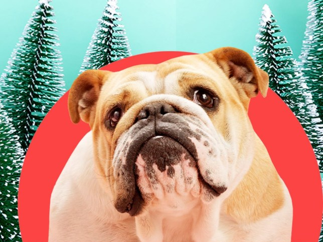 Be careful your dog doesn't eat these poisonous Christmas foods this festive season