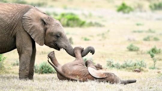 Un bébé éléphant joue avec son petit frère