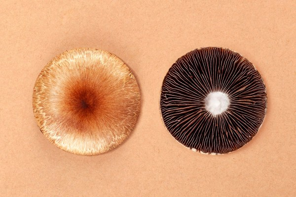 Can psychedelic drugs cure mental health disorders? Fresh psilocybe cubensis on beige background. Hallucinogenic psychedelic mushrooms. Alternative medicine.