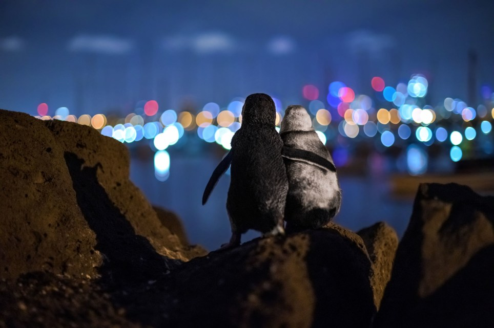 Photo non datée publiée par Tobias Baumgaertner / Ocean Photography Awards, Tobias a remporté le prix du choix de la communauté des Ocean Photography Awards pour l'image des deux manchots féeriques `` flipper in flipper '' qui a été prise à St Kilda, en Australie.  Photo PA.  Date d'émission: mercredi 23 décembre 2020. Voir l'histoire de l'AP ANIMAUX Pingouins.  Le crédit photo doit se lire: Tobias Baumgaertner / Ocean Photography Awards / PA Wire NOTE AUX RÉDACTEURS: Cette photo de document ne peut être utilisée qu'à des fins de rapport éditorial à des fins d'illustration contemporaine d'événements, de choses ou de personnes dans l'image ou de faits mentionnés dans la légende .  La réutilisation de l'image peut nécessiter une autorisation supplémentaire du détenteur des droits d'auteur.