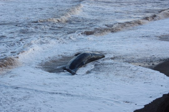One of group of ten sperm whales which have been beached on a stretch of coastline between the villages of Tunstall and Withernsea in East Yorkshire. PA Photo. Picture date: Thursday December 24, 2020. See PA story ANIMALS Whales. Photo credit should read: Richard McCarthy/PA Wire