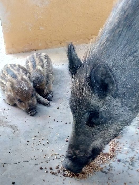 A boar named Polly with two of her piglets before she was shot dead (Picture: Victoria Korpics/Facebook/@snorkypork)