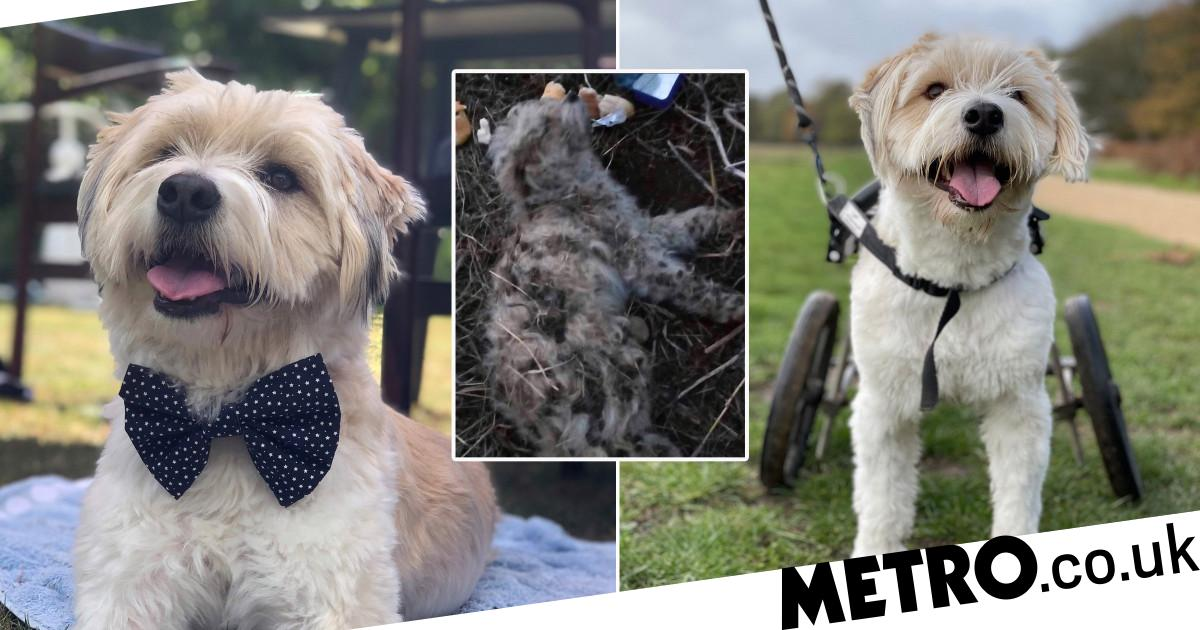 Paralysed dog left at the dump never stops smiling after finding forever home