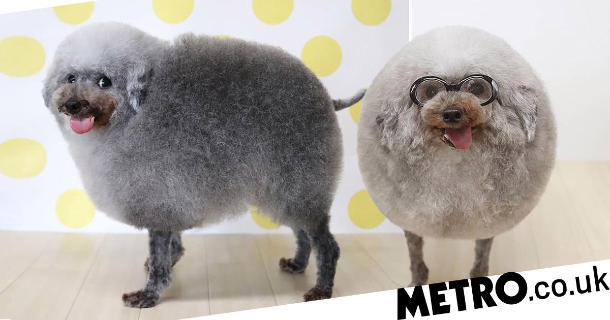 Gloriously round haircut makes toy poodle look just like a mini sheep
