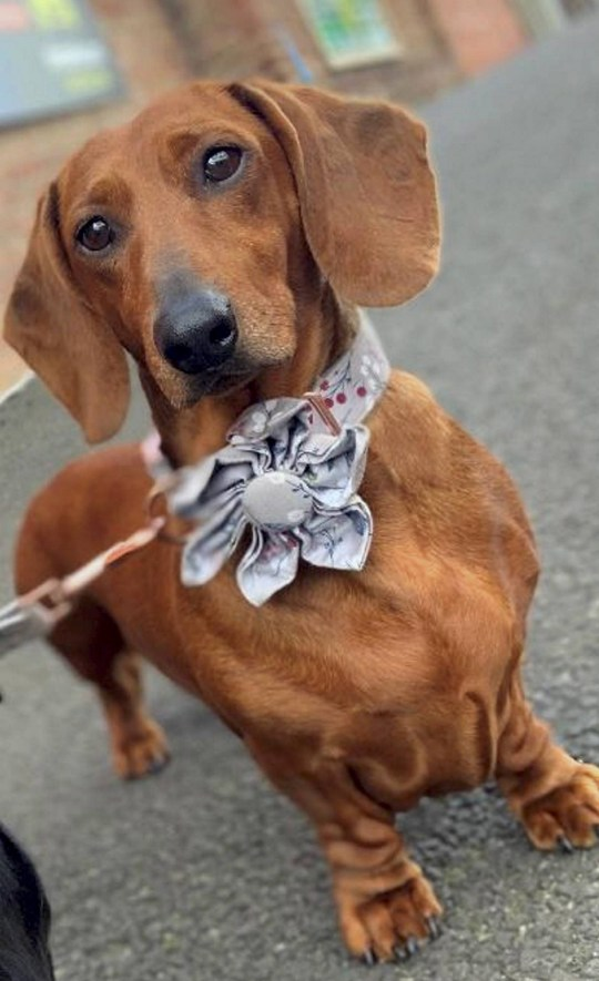 Dated: 13/01/2021 Pernod the sausage dog, who has developed a love of press-ups in lockdown and loves working out with her owner Jake Davie, 15, every day in the front room of the family home in Gateshead. See story and VIDEO by North News