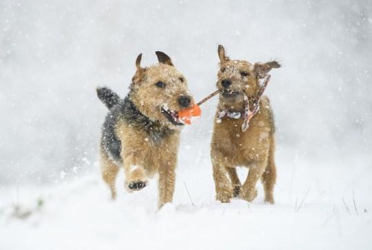 Mandatory Credit: Photo by Ryan Browne/REX (11708048c) Lakeland Terriers play in the snow in South Yorkshire Lakeland Terriers play in the snow in South Yorkshire, Rotherham, UK - 14 Jan 2021