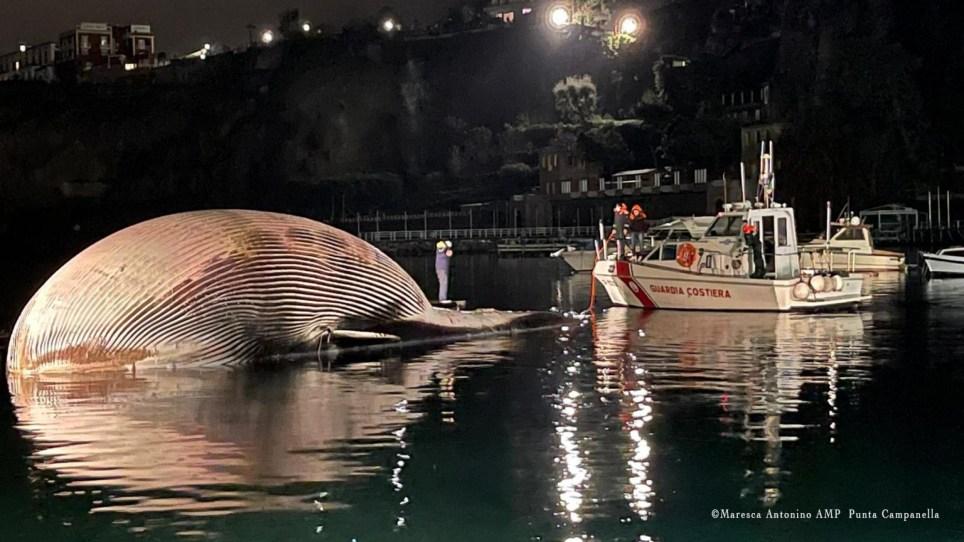 epa08951030 Un document photo mis à disposition par le bureau de presse des garde-côtes italiens (Guardia Costiera) montre les opérations complexes d'enlèvement et de transport d'un spécimen de baleine identifié le 17 janvier dernier, dans le port de Sorrente, dans le sud de l'Italie, le 20 janvier 2021. La délicate activité de remorquage du cétacé a été menée - sous la coordination de la Direction maritime de Naples - par deux patrouilleurs des garde-côtes italiens, qui ont déplacé le spécimen vers le port de Naples, où ils sont arrivés aux premières lueurs de l'aube, après quelques heures de navigation.  Le transport vers le port de Naples permettra la nécropsie nécessaire pour identifier plus précisément les causes de la mort de ce qui semble être l'un des plus gros spécimens de baleine identifiés en Méditerranée.  DOCUMENT À UTILISER ÉDITORIAL UNIQUEMENT / PAS DE VENTES