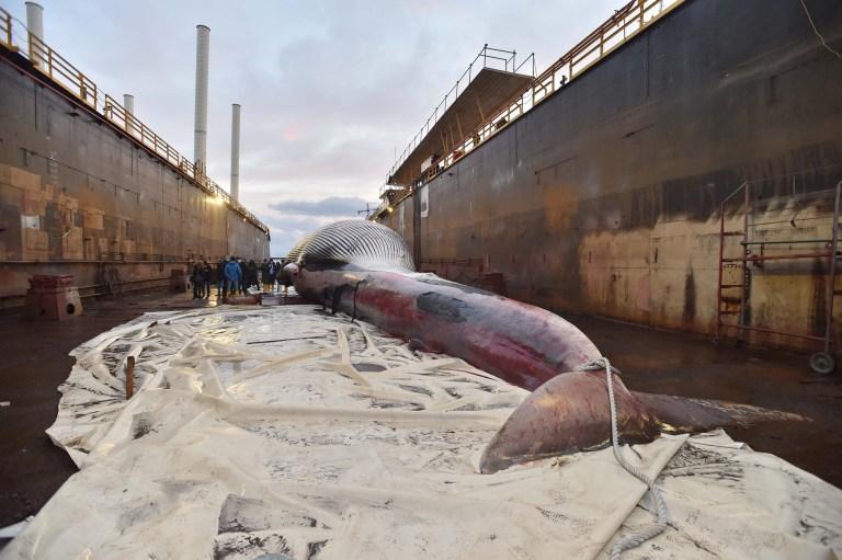 La carcasse d'une baleine a été récupérée dans le port touristique de Marina Piccola à Sorrente et ensuite transportée vers l'ancien chantier naval Megaride à Molo San Vincenzo à Naples où l'autopsie aura lieu.  Sur la photo: Baleine morte dans les eaux de Sorrente et amenée à Naples Réf: SPL5207584 200121 NON EXCLUSIF Photo par: DMFPRESS / SplashNews.com Splash News and Pictures USA: +1310-525-5808 Londres: +44 (0) 20 8126 1009 Berlin: +49175 3764166 photodesk@splashnews.com Droits mondiaux,