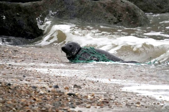 *MANDAORY CREDIT* *Ian Pope with Everything Felixstowe / SWNS* A seal which was left choking after being tangled in a fishing net for 30 HOURS has been saved by a member of the public. See SWNS story SWCAseal. The mammal was seen struggling on the shore in Felixstowe, Suffolk, on Saturday (23/01) morning. A member of the public phoned the RSPCA after seeing its neck strangled by the discarded green netting. Volunteers from marine charity British Divers Marine Life Rescue arrived at the scene on Saturday morning to help the seal but it had gone too far back out to sea. The distressed seal made a reappearance on the beach on Sunday (24/01) afternoon, but before returning back to the sea, a member of the public covered it with a blanket and cut it free.