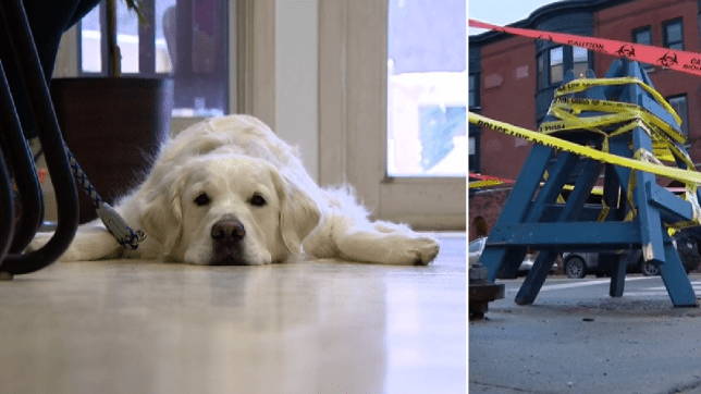 Golden retriever splayed on floor and manhole cover that electrocuted him