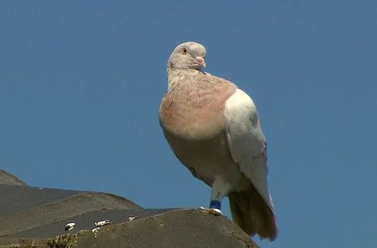 Pigeon travels from US to Australia