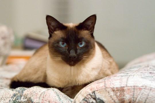 Pet Siamese Cat Resting on Sofa