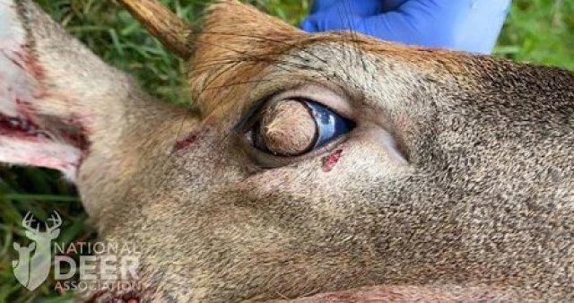 Deer developed hairy eyeballs due to bizarre rare condition