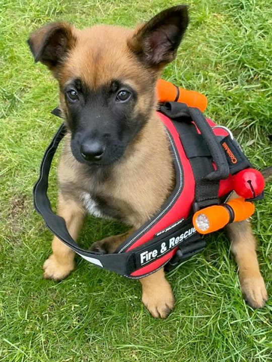Corrie the Belgian Malinois Belgian Shepherd will officially join the Scottish Fire and Rescue Service after a two-year training course