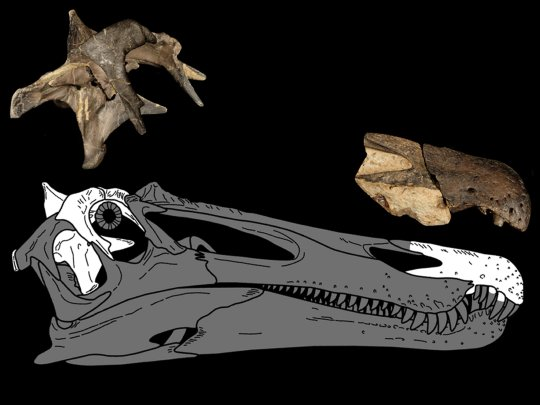 The braincase and snout for a Ceratosuchops inferodios. (Credits: PA)