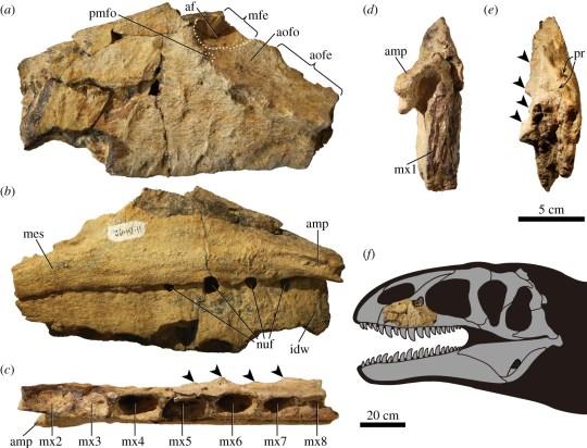 Fragments of the dinosaur's skeleton were found in Uzbekistan (Tanaka et al)